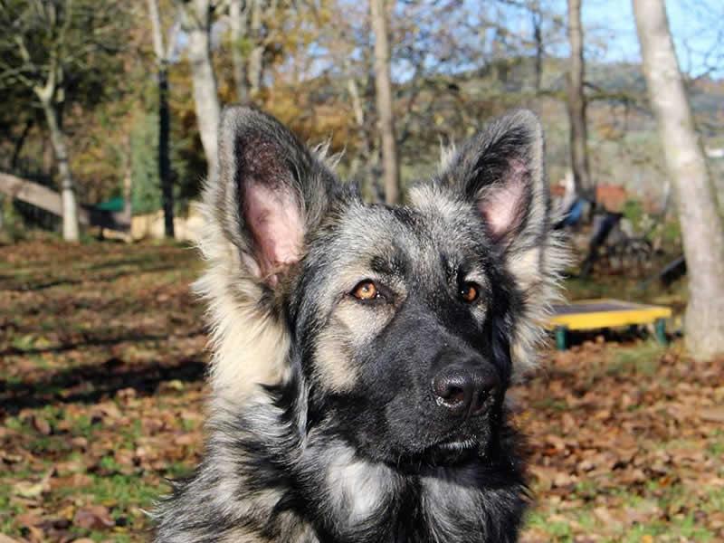 altdeutscher schäferhund gris au milieu des bois acheter un chien éduqué