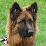 élevage altdeutscher schäferhund élevage de chien