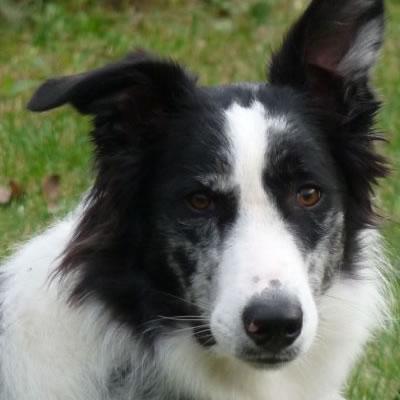 profil d'un border collie noir et blanc oreilles en l'air l'école du chien