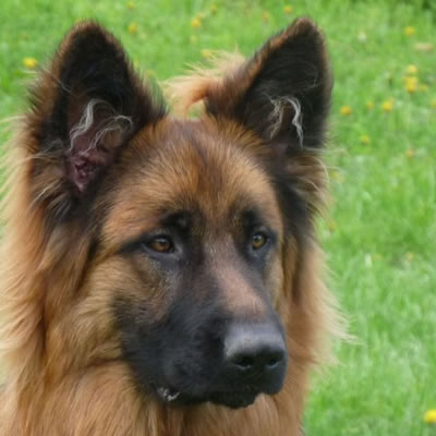 chien oreilles en l'air marron clair élevage altdeutscher schäferhund