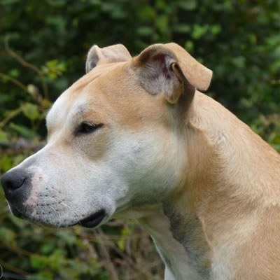 chien de profil museau blanc oreilles marron clair en stage à la tribu de dana
