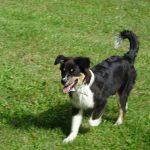 éducation canine élevage bergers australiens