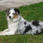 Habby couché dans l'herbe devant la terrasse élevage bergers australiens élevage de chien