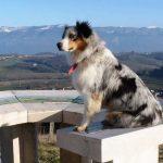 Habby le chien assise sur une table d'orientation face à la montagne élevage bergers australiens