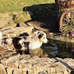 Habby se baigne dans le bassin élevage bergers australiens élevage de chien