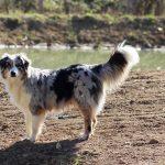 Janis devant la rivière élevage bergers australiens élevage de chien