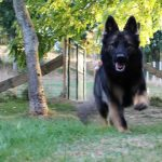 L'Kiss qui sort de son parc de l'élevage altdeutscher schäferhund