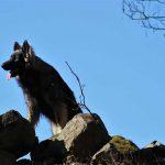 Madiba au sommet de pierres élevage altdeutscher schäferhund