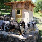 trois bergers australiens qui boivent dans le bassin élevage de chien élevage bergers australiens