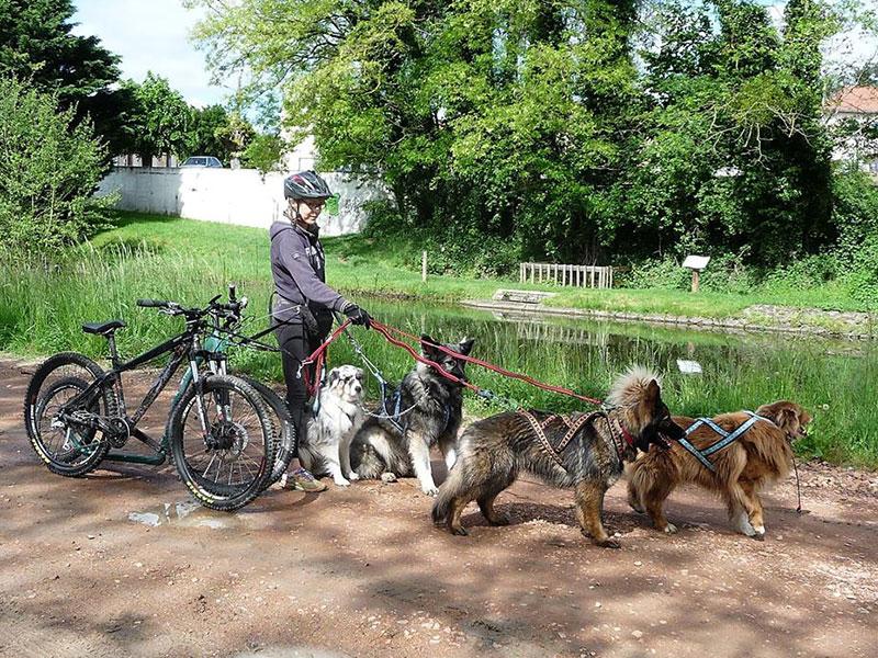 sortie cani vtt le long du canal altdeutscher schäferhund bergers australiens