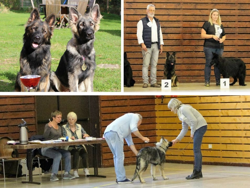 des trophées pour nos chiens à la Nationale élevage Altdeutsche Schäferhunde - Oberhaslach