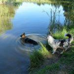 baignade pour une sortie d'un berger australien et d'un altdeutscher schäferhund de la Tribu de Dana