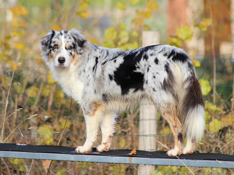 janis un berger australien et un chien éduqué sur une passerelle
