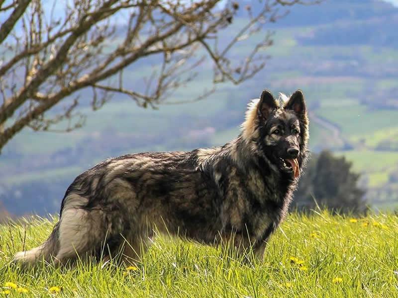 Madiba de l'élevage altdeutscher schäferhund debout dans un pré de pissenlits
