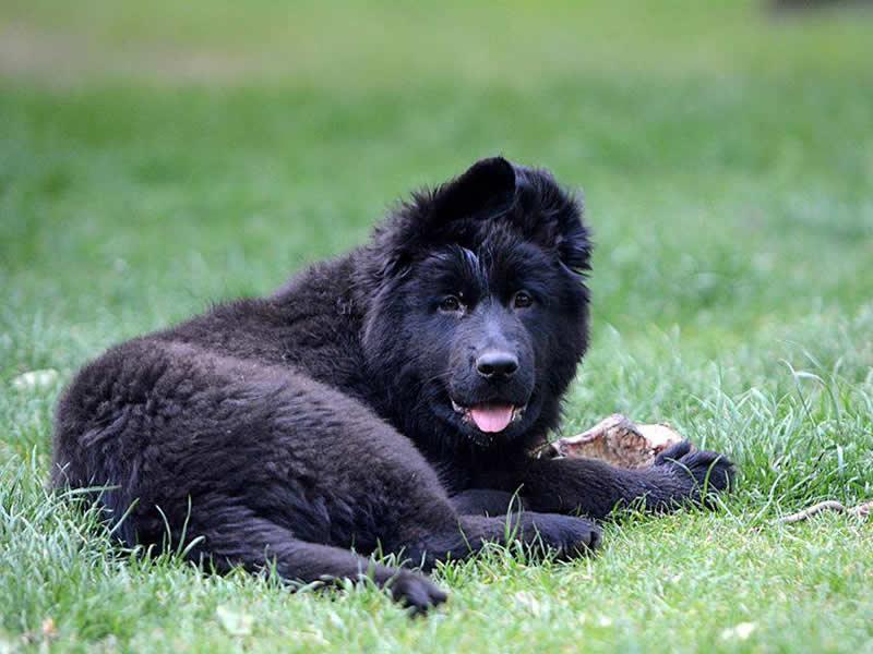 niki un chien noir couché dans l'herbe