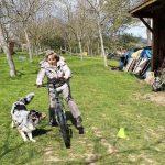 élevage bergers australiens éduquer son chien