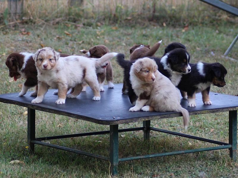 élevage de chien acheter un chien éduquer élevage bergers australiens