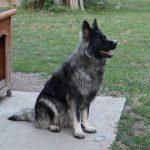 Berger allemand ancien type - Altdeutscher Schäferhund